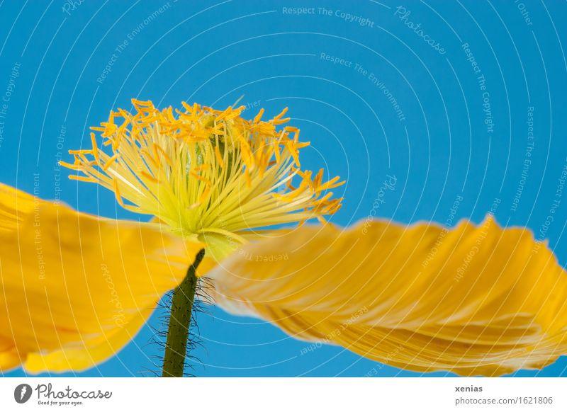 Makroaufnahme einer gelben Mohnblüte aus der Froschperspektive vor blauem Hintergrund Islandmohn Staubbeutel Mohngewächs Blüte schön Frühling Sommer Blume Blatt