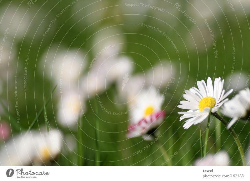 Gänseblümchenmeer Frühling Sommer Wiese grün weiß Blume Gras Makroaufnahme Nahaufnahme Markoaufnahme