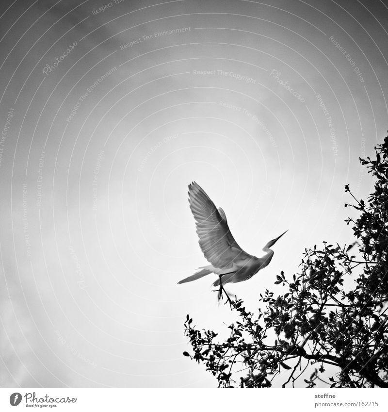 Archaeopteryx Vogel Reiher fliegen Luftverkehr Baum schwarz weiß groß majestätisch Silberreiher archaeopteryx