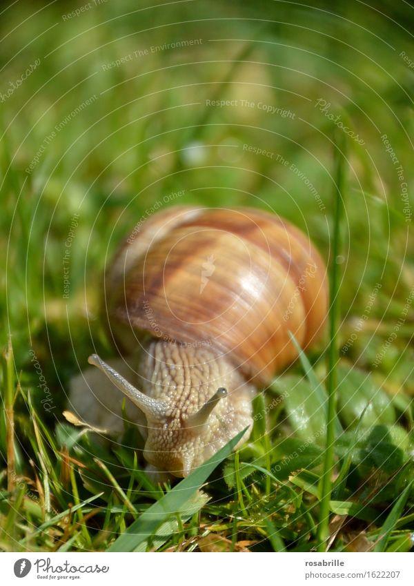 schau mir in die Augen - Nahaufnahme von Weinbergschnecke Leben Sinnesorgane Umwelt Natur Pflanze Tier Sommer Gras Wiese Schnecke 1 wandern glänzend Neugier