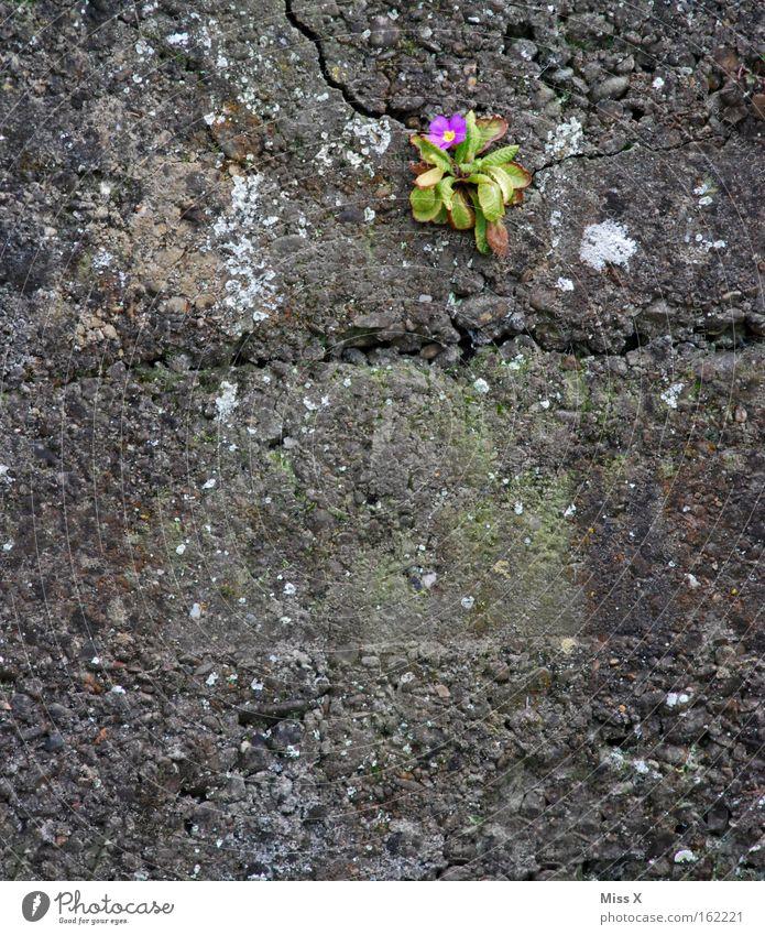 Mauerblümchen Blume Einsamkeit Wand Blüte Frühling grau Mauer Wachstum Blühend Riss einzeln Kissen-Primel