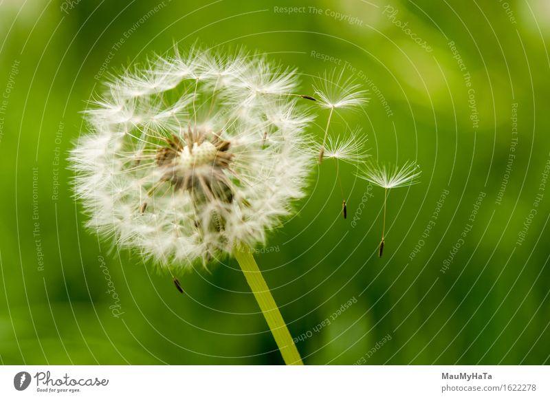 Pflanze grün Sommer weiß Blume Freiheit Wachstum Wind Löwenzahn wehen Pollen Single Sporen