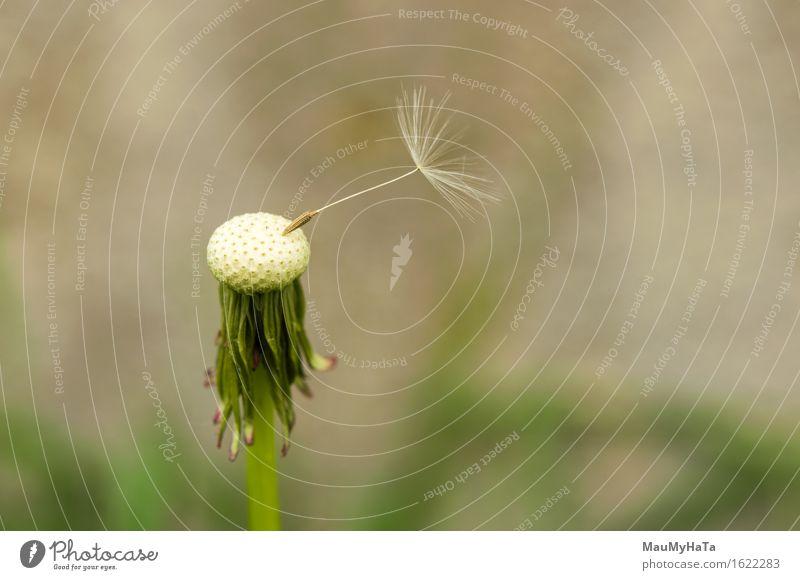 Löwenzahn Sporen weggeblasen Pflanze grün Sommer weiß Blume Freiheit Wachstum Wind wehen Pollen Single