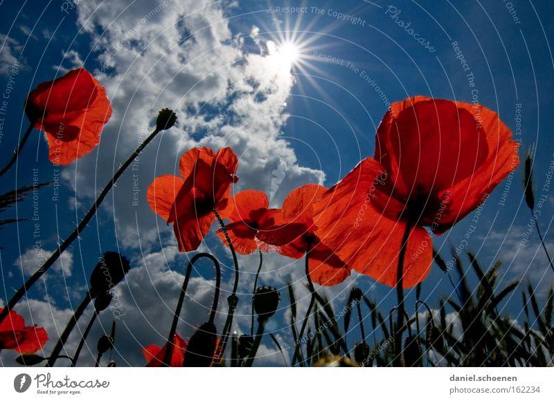 Klatschmohnsonne Himmel Sonne blau rot Sommer Wiese Blüte Perspektive Mohn Sonnenstrahlen Himmelskörper & Weltall
