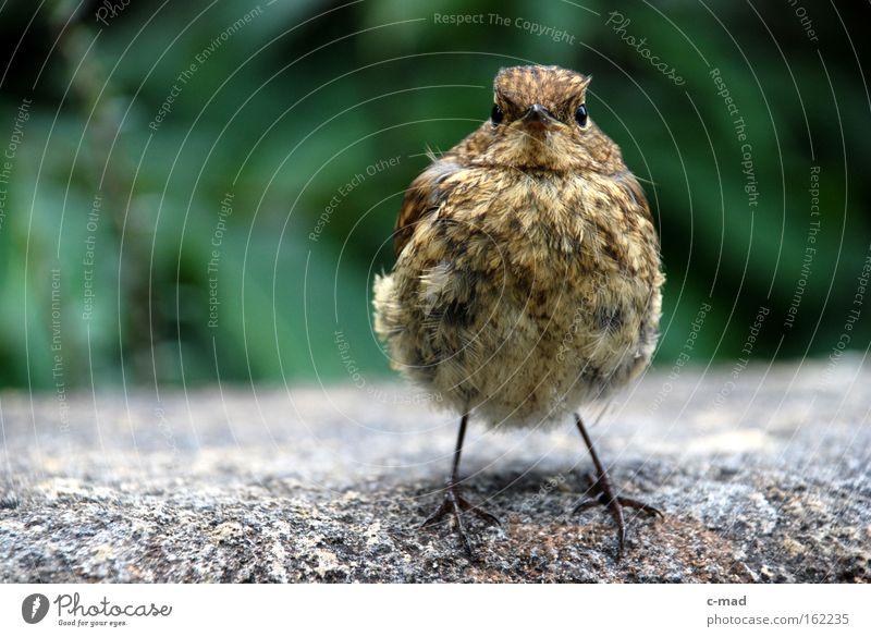 Vogelkind Natur frontal Spatz vertraut Geborgenheit Neugier Tier grün grau braun zutraulich aufgeplustert