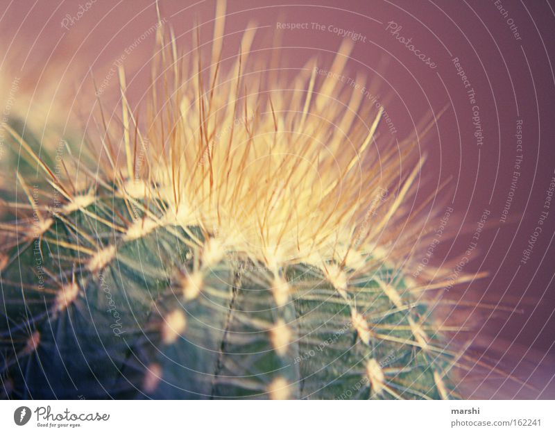 mein kleiner grüner Kaktus Natur grün klein Perspektive bedrohlich violett Wüste Dekoration & Verzierung Spitze Vorsicht Kaktus Stachel stechen Zimmerpflanze