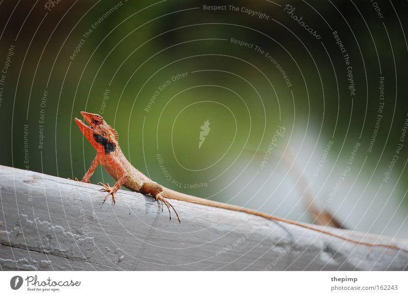 Mini Dino Echsen Echte Eidechsen Gecko Dinosaurier Reptil Schwanz Maul rot Lebewesen Tier Schuppentier Insektenfresser Krallen Tierfuß Holzbrett