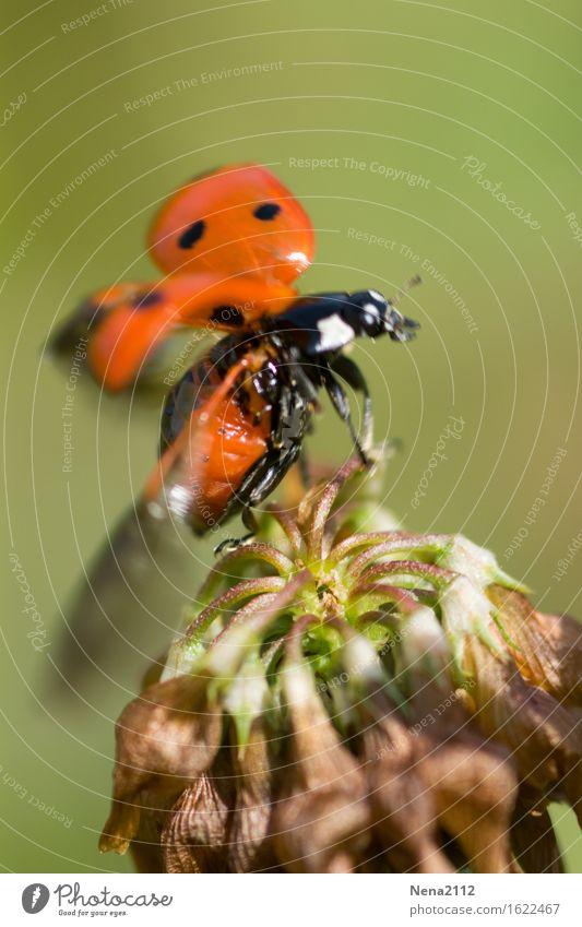 Tchüß Umwelt Natur Pflanze Tier Luft Schönes Wetter Blüte Garten Park Wiese Feld Käfer Tiergesicht Flügel 1 rot Insekt Marienkäfer fliegen Abheben Glücksbringer