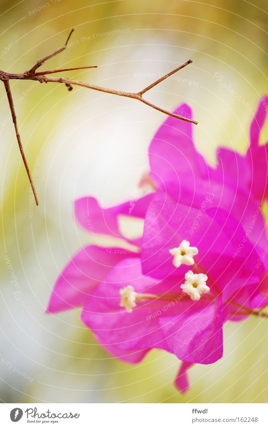 Lebenszyklus Blume Blüte Pflanze Ast Zweig Gegenteil Hoffnung alt Tod neu frisch rosa Bougainvillea schön Vergänglichkeit