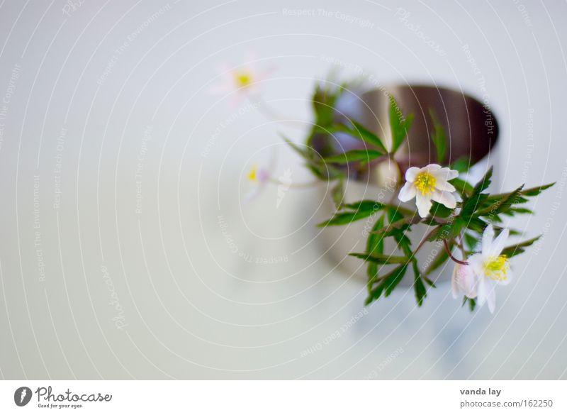 Buschwindröschen Farbfoto Gedeckte Farben Innenaufnahme Studioaufnahme Nahaufnahme Detailaufnahme Makroaufnahme Textfreiraum links Textfreiraum oben
