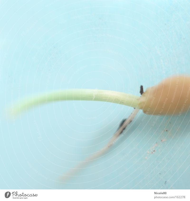 KeimZEIT Farbfoto Makroaufnahme Textfreiraum oben Getreide Gras Blühend Jungpflanze aufgehen Saatgut Aussaat Hafer Samen Trieb Sprössling Haferkorn Haferkeim