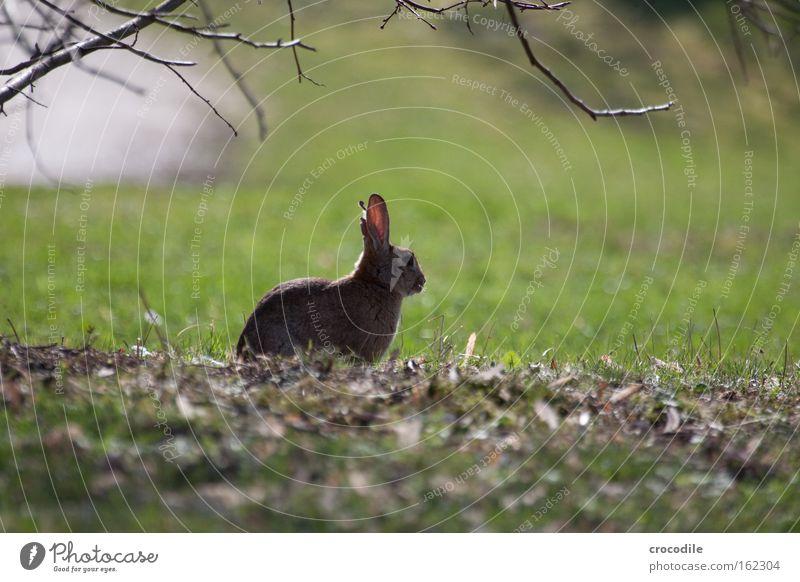 Osterhasi Blatt Erholung Wiese Nase frei sitzen Pause Ostern Ohr Frieden beobachten Fell Säugetier Hase & Kaninchen hüpfen Tier