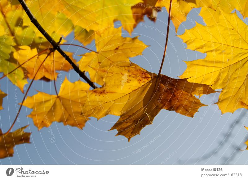 Herbstleuchten gelb mehrfarbig blau Blatt Komplementärfarbe Jahreszeiten