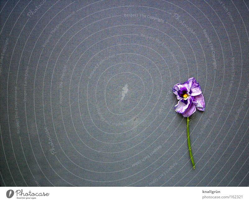 Morbide Blume grün Pflanze Tod Blüte grau Trauer violett Vergänglichkeit Stengel Verfall Verzweiflung Veilchengewächse Duftveilchen Stiefmütterchen