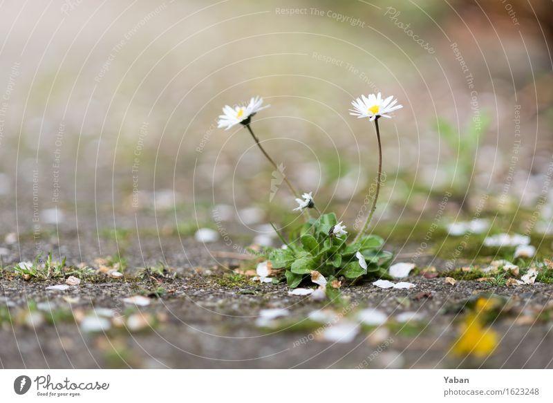Asphaltblüten Pflanze Gänseblümchen Stein Beton grau grün weiß Farbfoto Außenaufnahme Makroaufnahme Menschenleer Tag Schwache Tiefenschärfe