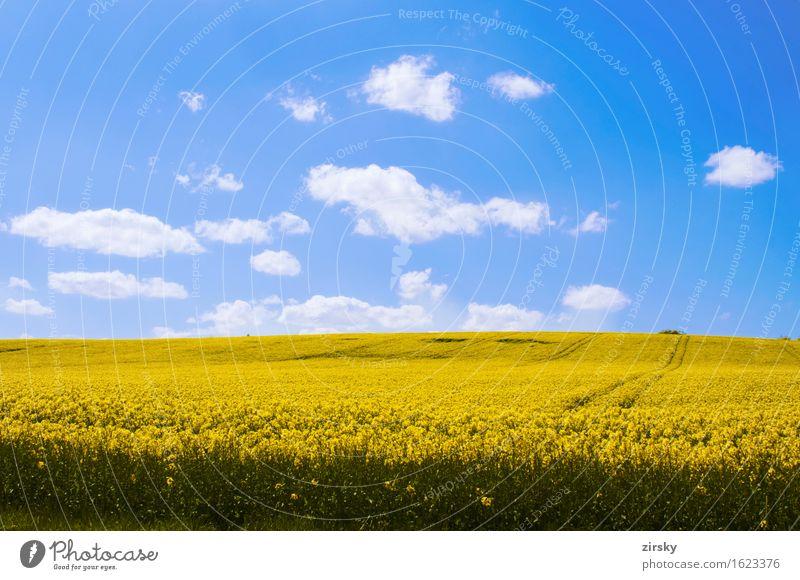 Gelbe Rapsfelder in der Sonne mit blauem Himmel und Wolken Öl leuchten gelb grün weiß Bio biologisch Nutzpflanze Rapsöl Bioenergieträger Biodiesel Biokraftstoff