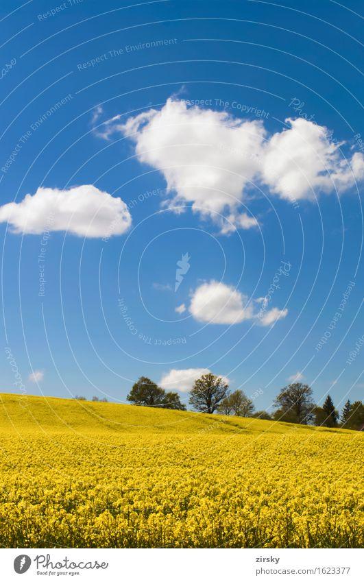 Gelbe Rapsfelder in der Sonne mit blauem Himmel und Wolken Lebensmittel Öl leuchten gelb grün weiß Bio biologisch Nutzpflanze Rapsöl Bioenergieträger Biodiesel