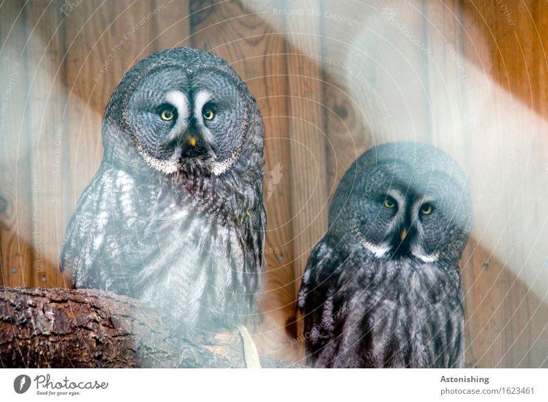 zwei Eulen Umwelt Tier Baum Wildtier Vogel Flügel Eulenvögel Tierpaar Holz sitzen rund braun grau schwarz weiß Blick Schnabel Fell Feder Auge gelb Holzbrett
