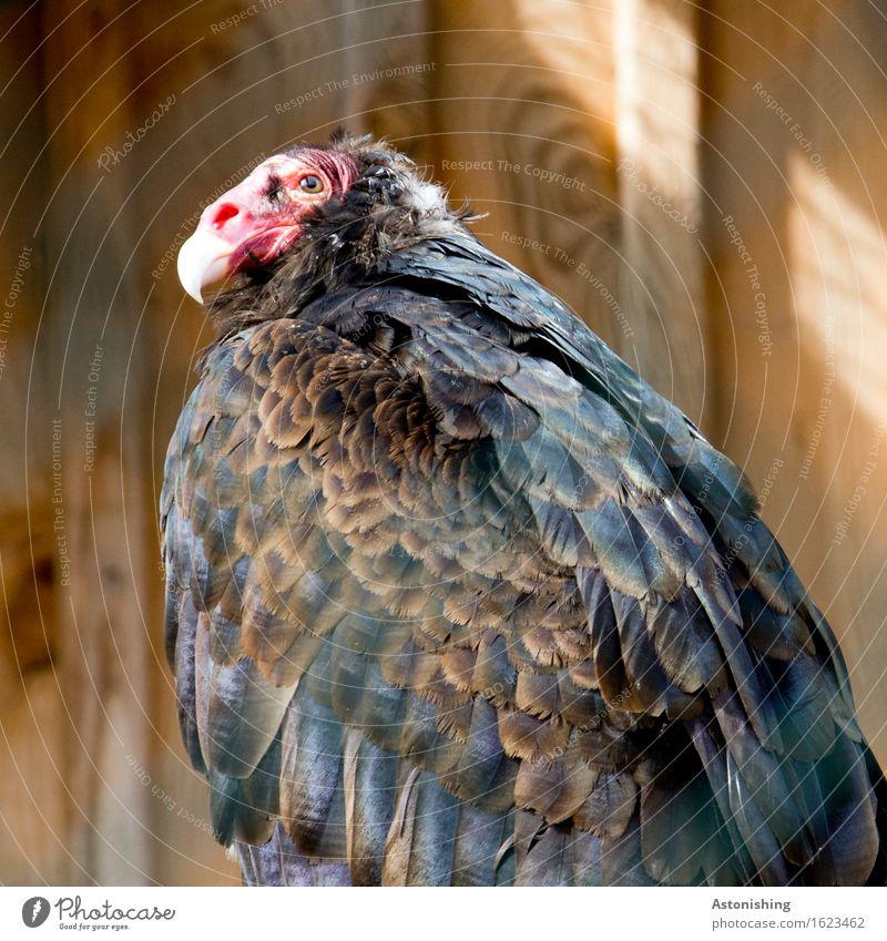 Rotkopf Natur Tier Wildtier Vogel Tiergesicht Flügel Geier Falken 1 Holz sitzen hässlich braun rot schwarz Feder Schnabel Auge Holzbrett Fell Spitze Farbfoto
