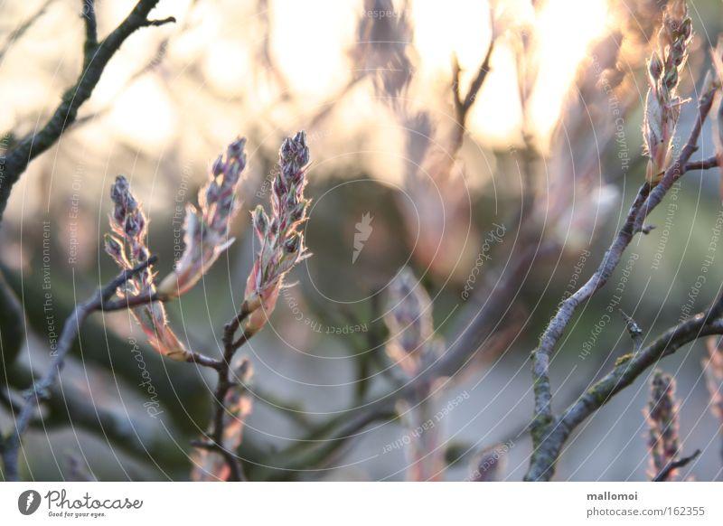 rosa spitzen Umwelt Natur Landschaft Pflanze Urelemente Frühling Blüte Wachstum Lebensfreude Beginn Duft Gelassenheit ruhig träumen Blütenknospen Blattknospe