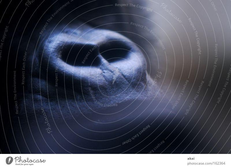 Riechen Tier Leben Denken Kraft Nase Afrika nachdenklich Säugetier Sorge Affen Futter Gehege kümmern Basel Gorilla