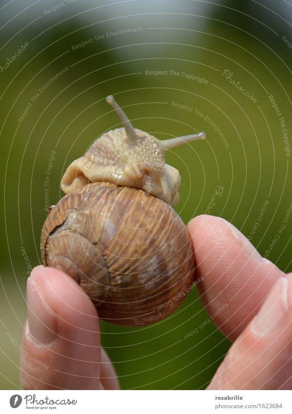 Schnecke schaut heraus als jemand ihr Haus hochhält vor unscharfem, gruenem Hintergrund draussen Erholung ruhig Umwelt Natur Tier berühren natürlich Neugier