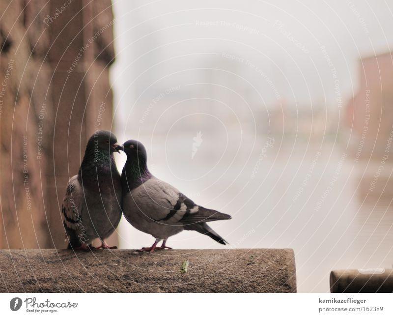 küss mich....... Liebe Tier Wand Gefühle Glück Mauer Vogel Tierpaar Nebel Brücke paarweise Romantik Küssen Wildtier Taube