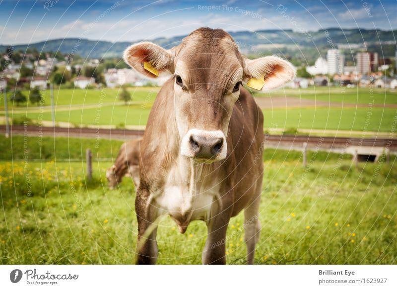 Ohren aufstellen Sommer Natur Wiese Hügel Tier Nutztier Kuh 1 Blick authentisch Neugier niedlich braun grün Interesse Schweiz Freilandhaltung Landwirtschaft