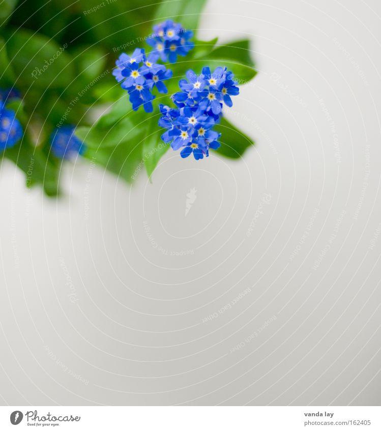 Don't You (Forget About Me) schön Blume grün blau Pflanze Blüte Frühling zart Duft Valentinstag lieblich Zierde Vergißmeinnicht Zierpflanze Bauerngarten
