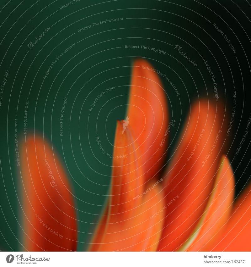 hahnenkamm Farbfoto mehrfarbig Außenaufnahme Nahaufnahme Makroaufnahme Menschenleer Textfreiraum links Textfreiraum oben Kunstlicht Schatten Kontrast Unschärfe