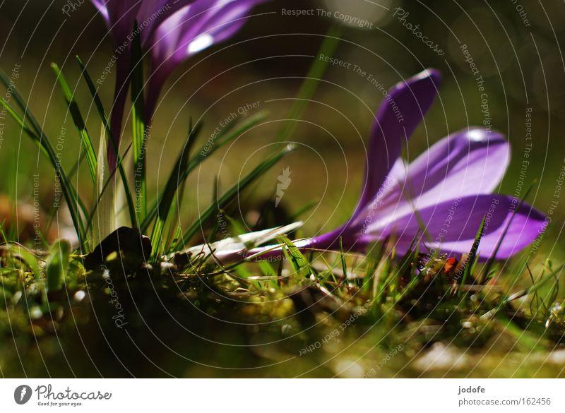 am Boden Blume Pflanze Blüte Gras Frühling violett Stengel Moos Botanik Krokusse umgeknickt