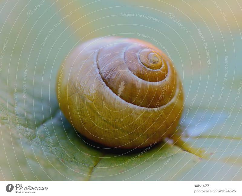 schön rund Natur grün Blatt Tier ruhig gelb Herbst Garten Design einzigartig Symbole & Metaphern harmonisch Spirale Schnecke Blattadern