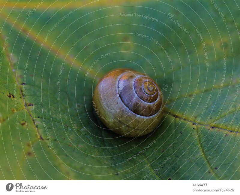 Rückzug Natur Pflanze grün Tier Blatt ruhig gelb Herbst Zeit braun Vergänglichkeit Wandel & Veränderung Schutz Pause Richtung Schnecke