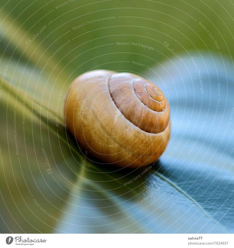 Schräglage Natur Pflanze Tier Blatt Grünpflanze Wildtier Schnecke Schneckenhaus 1 ästhetisch nah rund gelb grün Design ruhig Schutz Strukturen & Formen