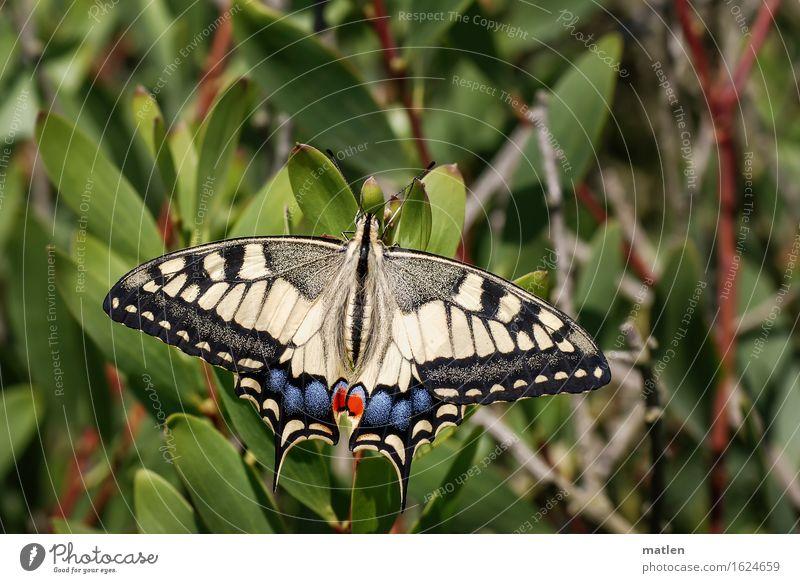 Schönling Pflanze Tier Wildtier Schmetterling 1 blau braun mehrfarbig gelb grün rot schwarz Sonnenbad Schwalbenschwanz Farbfoto Außenaufnahme Makroaufnahme