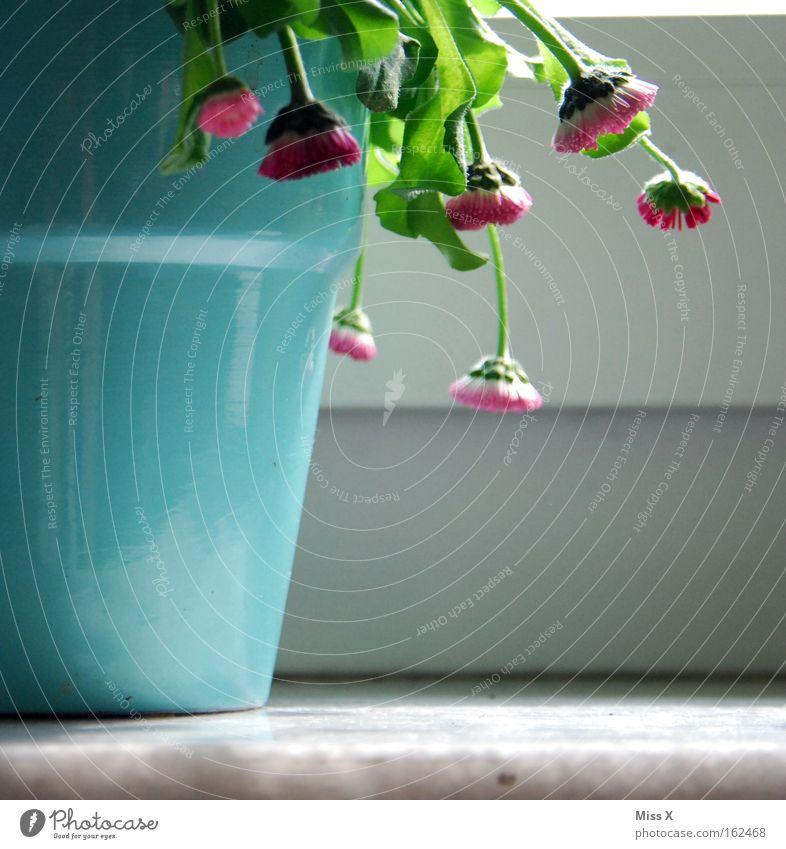 Man(n) sollte gießen ! Farbfoto Innenaufnahme Topf Pflanze Blume Fenster Gießkanne kaputt Blumentopf Gänseblümchen welk vertrocknet Fensterbrett Zimmerpflanze