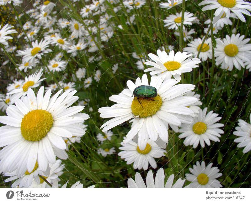Käfer auf Blume Margerite Pflanze Tier grün gelb weiß glänzend Bluemenwiese