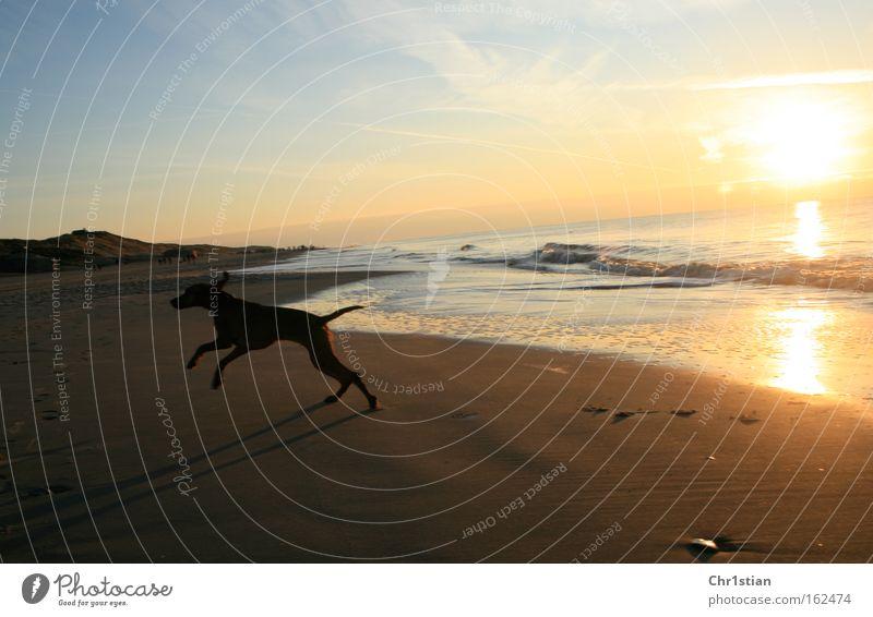 Strandläufer Sonnenuntergang Dänemark Sand Hund Sommer Viszla Vizsla Sundown Danmark