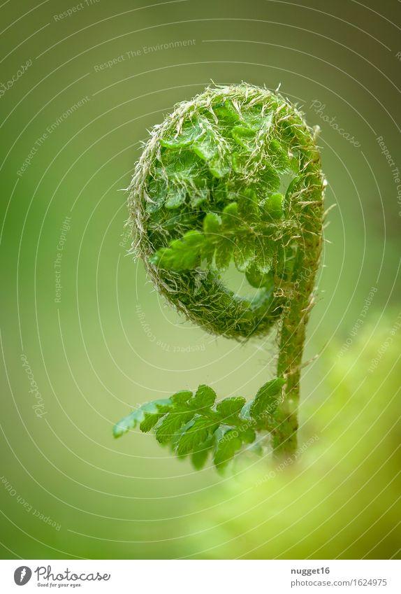 Awakening of nature Umwelt Natur Pflanze Frühling Sommer Farn Blatt Wildpflanze Garten Park Wald Urwald ästhetisch natürlich grün Stimmung Frühlingsgefühle