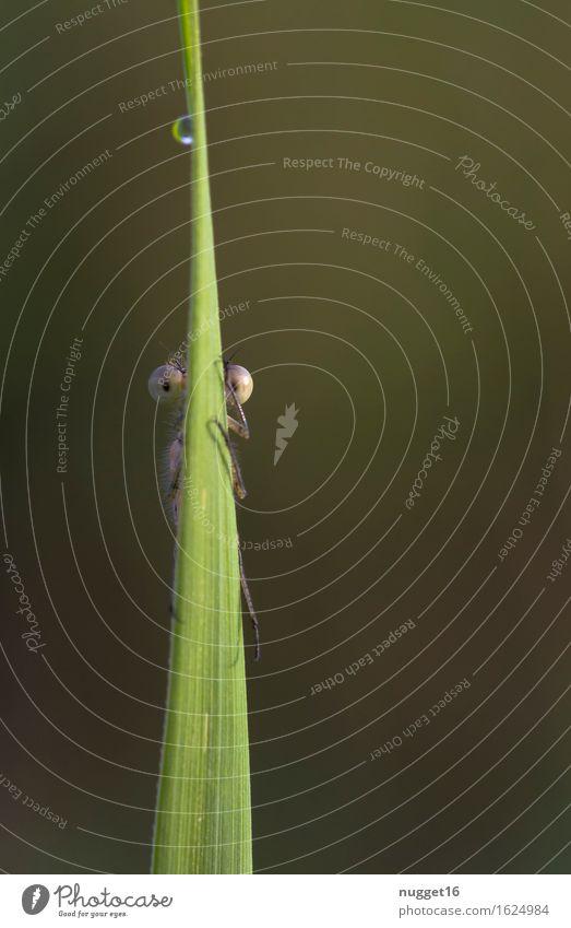 Du siehst mich nicht! Natur Tier Wassertropfen Sommer Pflanze Gras Moor Sumpf Wildtier Libelle 1 beobachten Blick Fröhlichkeit lustig braun grün Idylle Farbfoto