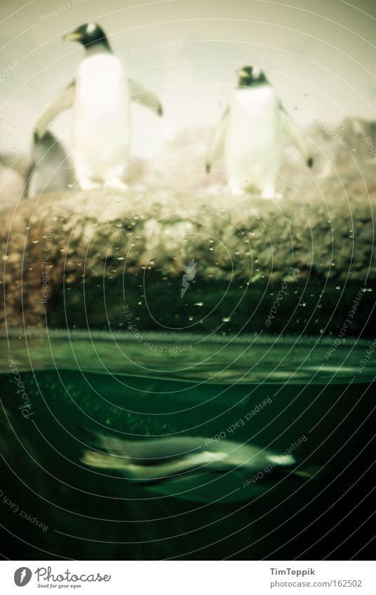 Dive Inn Pinguin Zoo tauchen Tiergarten Kaiserpinguine Aquarium Unterwasseraufnahme Suche Säugetier Wasser Antarktis Schwimmen & Baden