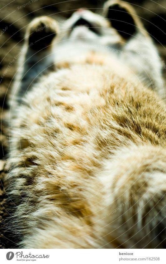 Faulpelz Katze Fell Tod Hauskatze Sommer genießen Zufriedenheit Erholung Säugetier dick Fett bequem kadaver liegen Sonne Bauch Totes Tier