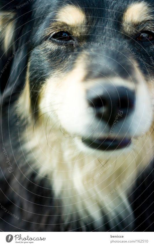 hundeblick Tier Auge Hund Haare & Frisuren Fell Säugetier ernst intensiv Husky