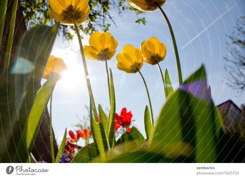 Tulpen Baum Blume Blühend Blüte Sträucher Erholung aufwachen Tier Froschperspektive Frühling Garten Himmel Kirschblüten Schrebergarten Licht Menschenleer Natur