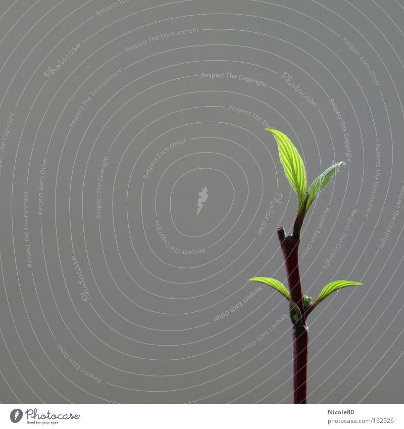 sprössling grün Blatt Frühling neu Asien Dekoration & Verzierung Ast zart Blühend Zweig einzeln aufwachen Blattgrün Feng Shui