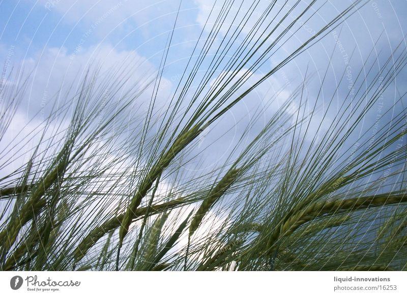 Getreide Weizen Wolken
