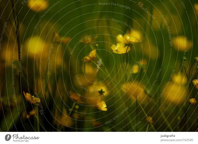 Wiese Natur Blume Pflanze Sommer Farbe Wiese Blüte Umwelt wild Gift Heilpflanzen Hahnenfuß Unkraut Sumpf-Dotterblumen