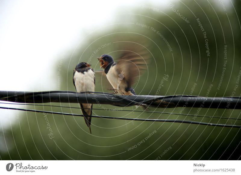EY!!! Weg da! schlechtes Wetter Regen Leitung Stahlkabel Telefonkabel Tier Vogel Flügel Schwalben 2 Tierpaar Brunft sprechen fliegen schreien sitzen