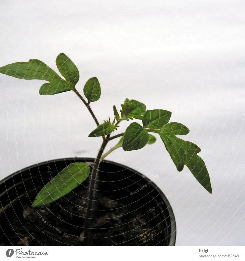 Tomatenaufzucht... Natur grün Pflanze Frühling braun Kraft klein Beginn Erde frisch Wachstum natürlich Stengel Kunststoff Ackerbau
