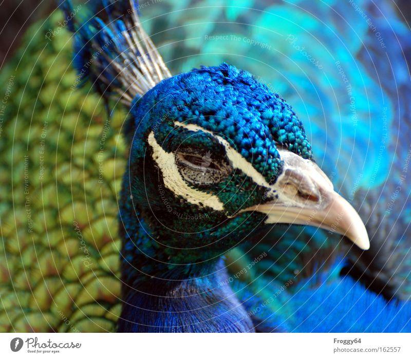 Osterküken blau Auge Kopf Vogel Flügel Feder weich zart Hals Indien Schnabel Asien Pfau Tier